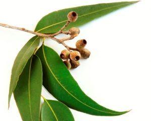 Eucaliptul, planta supranumită remediul bolilor respiratorii