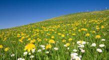 Planta care ţine la distanţă bolile hepatice şi obezitatea