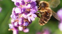 Cum ar fi viața fără albine. Ființe mici, dar importante ne salvează viețile în fiecare zi