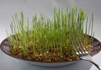 Germenii din plante, legumele concentrate care detoxifică. LISTA plantelor care se pot germina