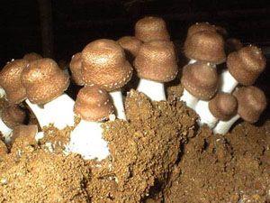 Ciuperca miraculoasă care previne cancerul, bolile de inimă şi alte afecţiuni