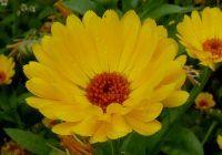 Plante care luptă împotriva cancerului de colon