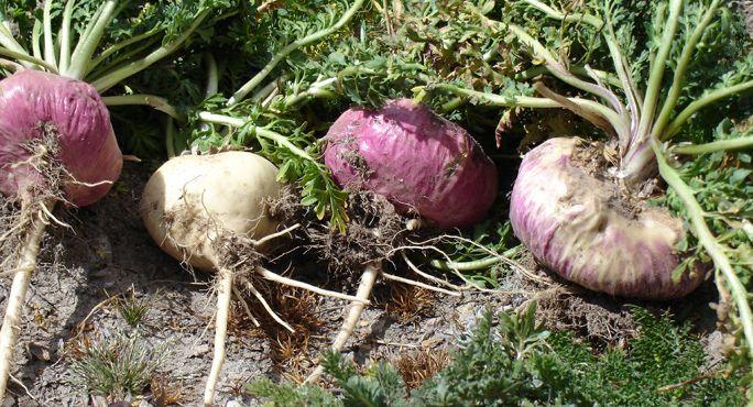 O plantă înrudită cu ridichea poate înlocui cu succes Viagra