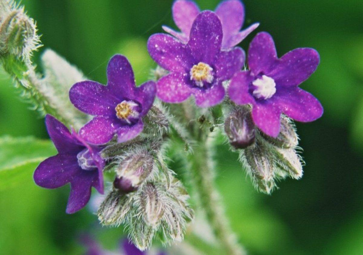 Macerat la rece din plante pentru cancerul de sân