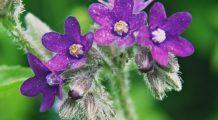 Patru plante care combat cancerul