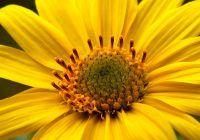 Datorita efectelor sale calmante si antiinflamatorii, Arnica este cunoscută de sute de ani, fiind folosită ca plantă medicinală încă din secolul al VI-lea.
