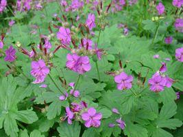 Planta-minune care luptă împotriva cancerului şi a problemelor vasculare