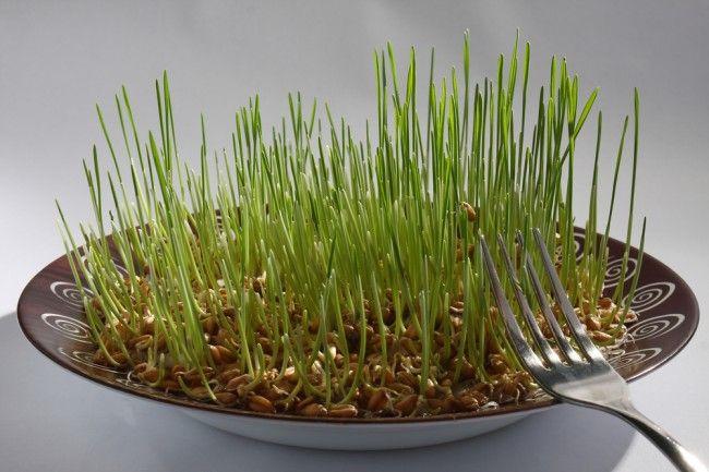 Germenii de grâu țin cancerul la distanță