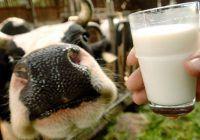 De ce nu e bine să bei lapte nepasteurizat