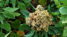 Preveniți infarctul și osteoporoza cu quinoa