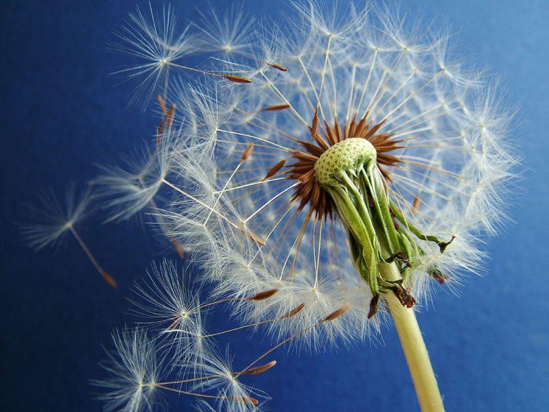 Păpădia are beneficii nebănuite precum distrugerea celulor canceroase