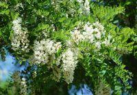 Boli pe care le puteți trata cu flori de salcâm