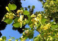 Ce boli puteți combate cu flori de tei?