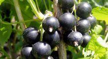 Coacăzele negre combat infecțiile stomacale și mențin ficatul sănătos