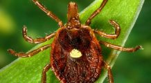 S-ar putea să nu mai poți mânca niciodată carne dacă ai fost mușcat de această insectă