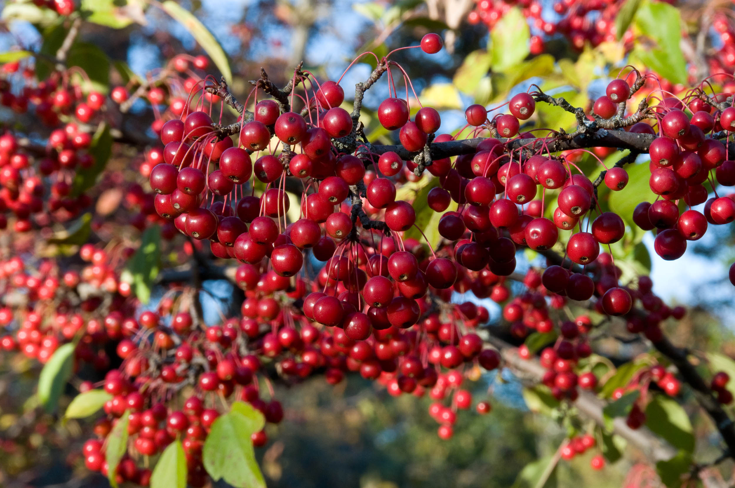 Un fruct mai puţin cunoscut ar putea trata cancerul pancretic
