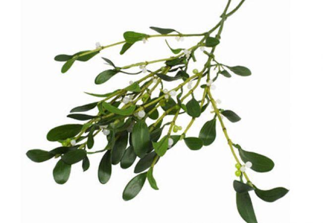 """Planta care aduce noroc și belșug în casă de Crăciun e un adevărat """"medicament"""". În Germania și Elveția e folosită în tratarea cancerului"""