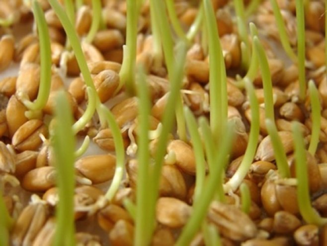 Leacul miraculos. Ce efecte poate avea o cură cu germeni de grâu?