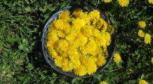 Planta-medicament care tratează ficatul leneș și combate retenția de apă