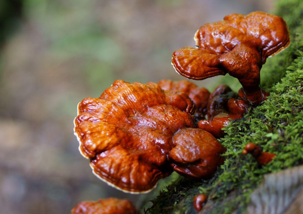 O ciupercă miraculoasă, arma anti-obezitate