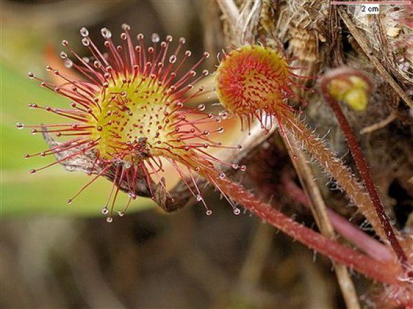 O plantă carnivoră care crește în țara noastră tratează astmul și negii