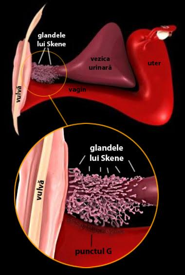 "Glandele Skene sau ""prostata feminină"""