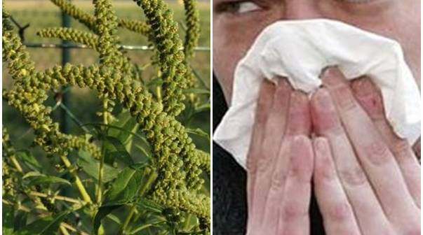 Atenție! Aceasta este cea mai alergenică plantă din România