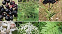 Fructe otrăvitoare, vândute drept afine