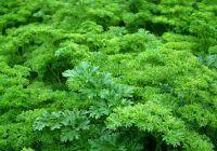 Planta pe care o iei de la tarabă cu 1 leu, dar este remediu miraculos pentru boli grave, inclusiv cancer