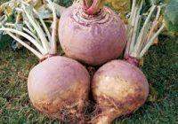 O plantă înrudită cu ridichea are același efect ca Viagra