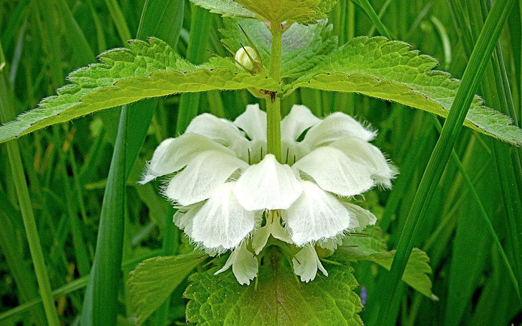 Planta care vindecă afecțiunile genitale. Efectele sale sunt miraculoase