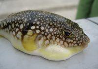Peştele care PARALIZEAZĂ nervii motori şi poate cauza şi MOARTEA