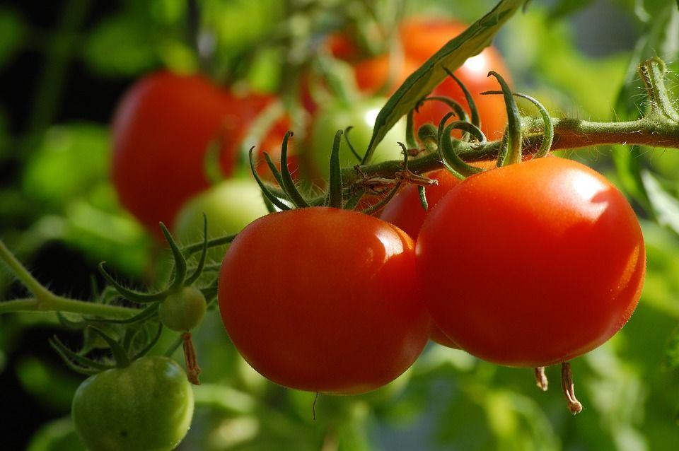 De ce este bine să mâncăm roșii