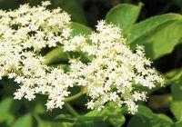 Planta de sezon care accelerează orice dietă. Celulita dispare și kilogramele se topesc