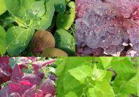 Planta care previne cancerul de colon și formarea cheagurilor de sânge