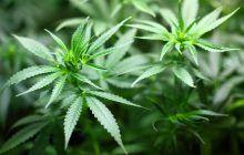 Canada a legalizat canabisul. Consecințele pot fi devastatoare pentru sănătatea cetățenilor, îngrijorările sunt uriașe