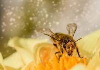 PROPOLISUL, darul neprețuit al albinelor pentru noi, oamenii