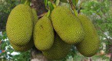 Jackfruit – fructul uriaș care înlocuiește carnea. Cât este de benefic consumul lui
