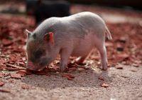 ANSVSA: Pesta porcină, confirmată în două gospodării din țară
