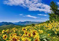 Arnica, planta-minune de pe pajiștile munților