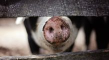 Veste groaznică pentru crescătorii de porci! Uniunea Europeană nu îi va despăgubi, premierul Dăncilă i-a dezinformat!