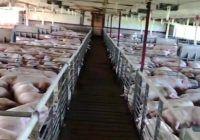 140.000 de porci vor fi uciși! Pesta porcină africană face ravagii! Este dezastru, va fi MĂCEL la cea mai mare fermă de porci din România