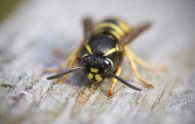 Ce faci dacă ai fost înțepat de o viespe sau de o albină