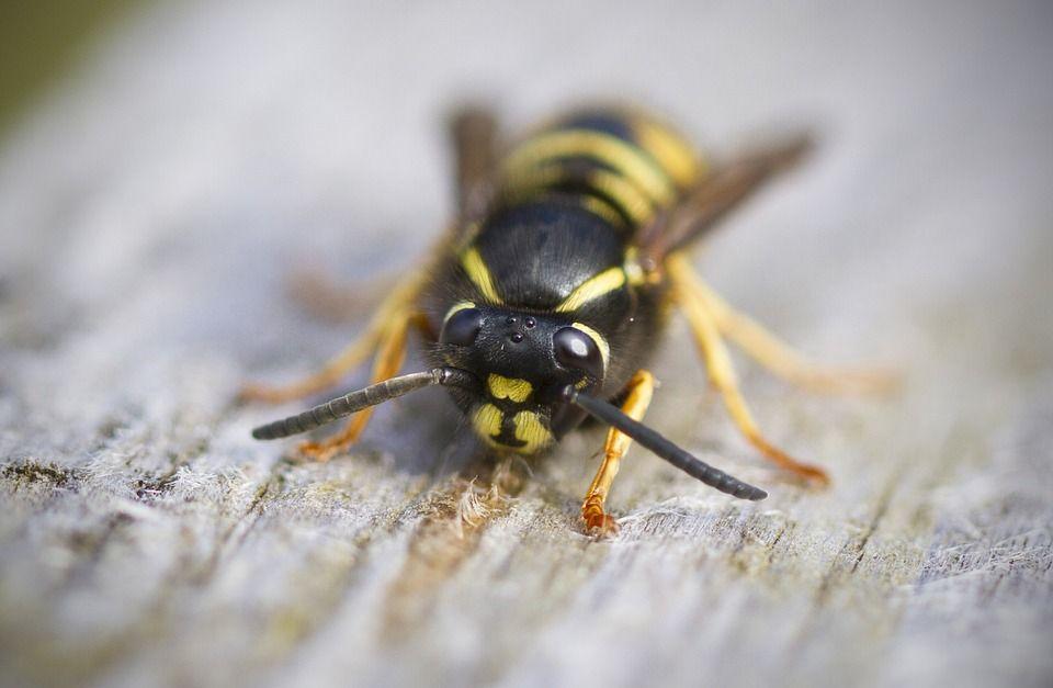 Feriți-vă de aceste insecte! Sunt mai agresive ca niciodată