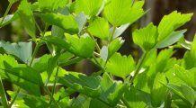 Leușteanul nu este doar o plantă aromatică, ci și medicinală. Are o puternică acțiune terapeutică
