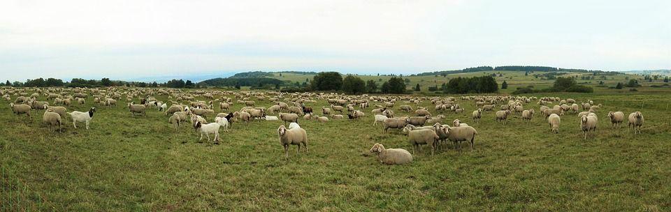 Un nou virus amenință România. Ovinele și caprinele în pericol!