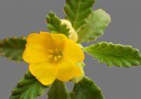 Planta care poate vindeca impotența. Are un efect maxim consumată sub formă de ceai sau tinctură