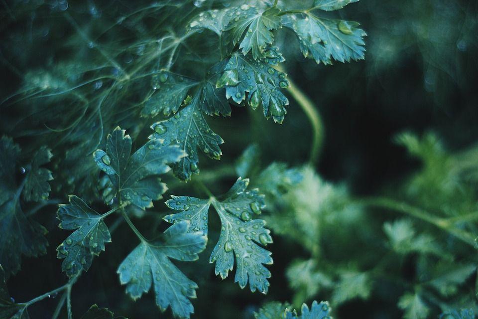 Leușteanul, plantă magică