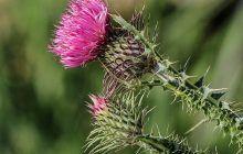Planta miraculoasă care ameliorează bolile de ficat