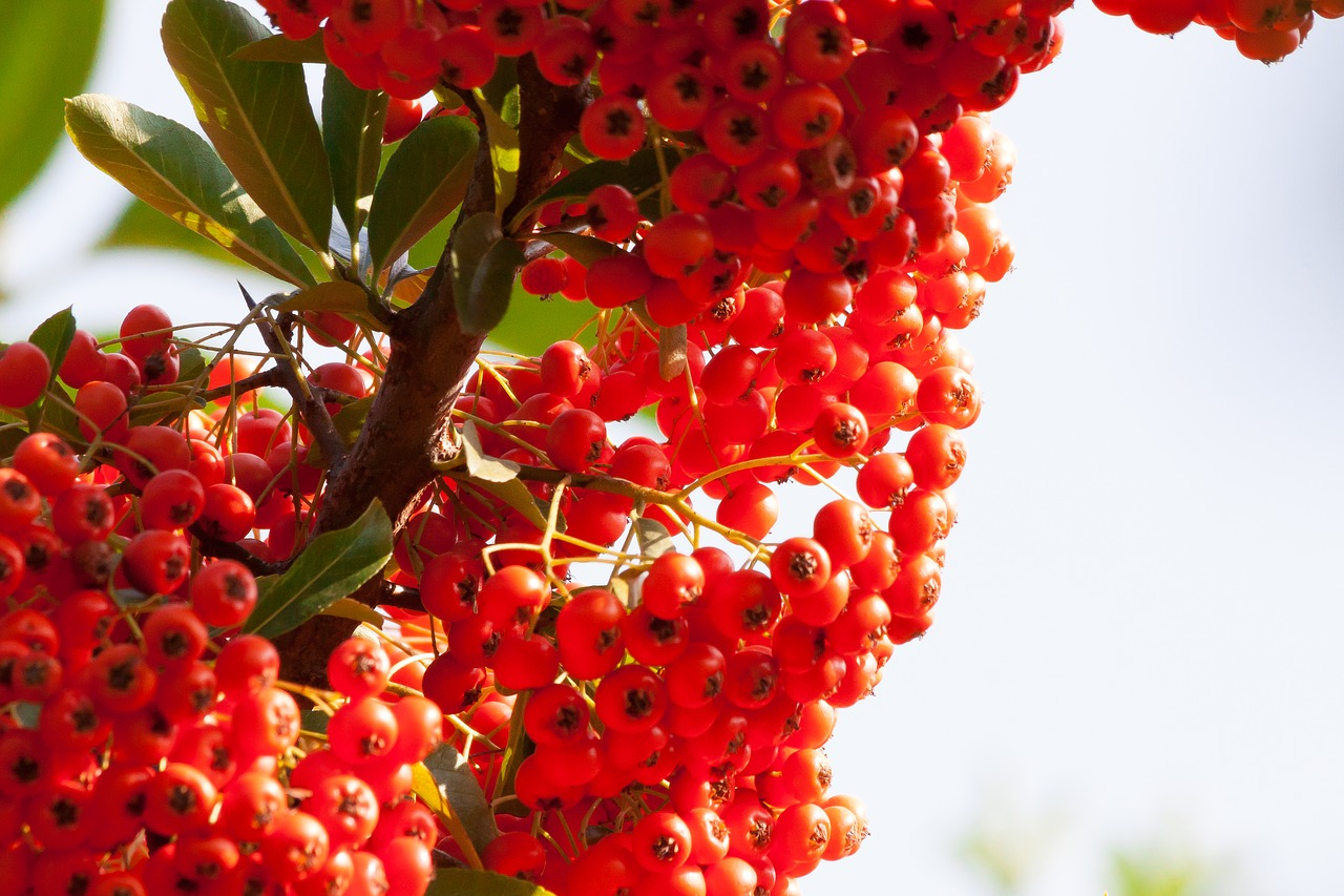 Cătina roșie, vitaminizant natural de excepție. Arma imbatabilă împotriva anemiei
